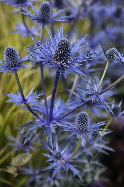 Eryngium × zabelii 'Jos Eijking' (PBR) - This delightful sea holly has long lasting, flowers that arrive in mid- to late summer, turning bright metallic-blue as they age and usually lasting well into the autumn. They have a strong architectural shape, so are best in uncrowded borders where they can really stand out on their own. Honey bees love their flowers so they are a perfect for adding to a sunny, wildlife-friendly garden.
