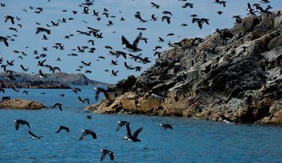 Those who venture to Little Fogo Islands will see hundreds of puffins nesting in the hills and bobbing in the water off of this tiny archipelago.