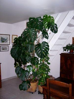 Philodendron monstera - Philodendron monstera de 12 ans... - Montrez-nous vos plantes d'intérieur
