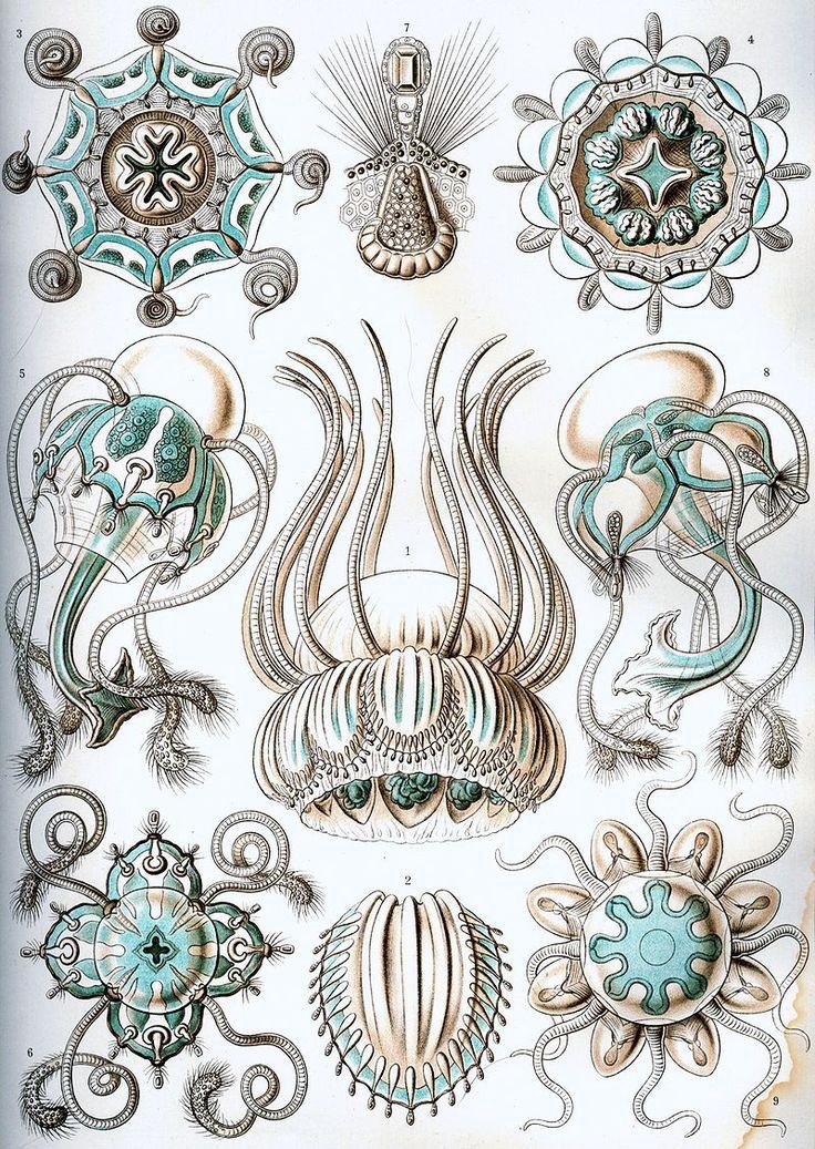 Haeckel Narcomedusae - Kunstformen der Natur - Wikipedia, the free encyclopedia
