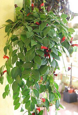 lipstick plant purple flowering vining trailing plant hoya u0026 orchid companion lipstick plant and plants - Vining Flowers