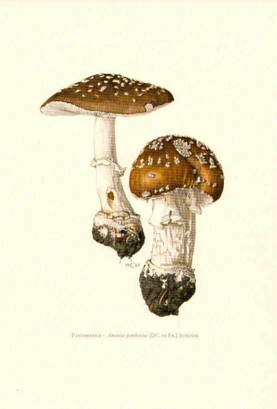 Mushrooms - amanita pantherina. original vintage lithograph, 1963