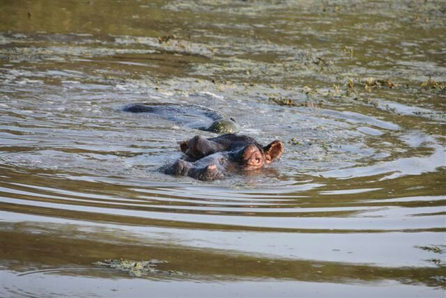 Stunning pic-Turtle is relaxing on Hippo's back, Krüger Nationalpark, South Africa