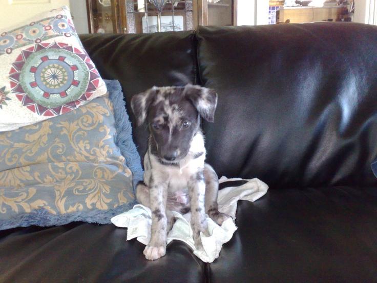 Riley the Koolie at 7 weeks, 2010