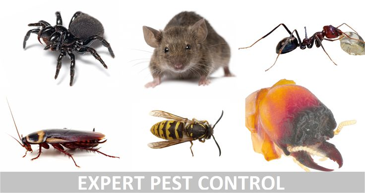 Both carpet beetles and moths prefer secluded areas such as behind curtains and furniture where they are seldom disturbed {Piano,couch,tables,entertainment units}.  thirstypestcontrol.com.au