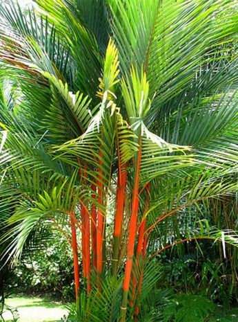 Love this lipstick palm tree photo . Did you know there are thousands of species of palm trees? Here are some of the top Florida palm trees.