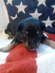 Rocket: English Shepherd, Dog; Bloomington, IL: Shepherd Dogs, English Shepherd
