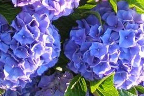 Hortensia 'Bodensee'      De Hydrangea macrophylla 'Bodensee' (Hortensia 'Bodensee') bloeit van juli tot en met september rijkelijk met blauwe/lila kleurige, bolvormige bloemen. Door deze opvallende bloei is de Hortensia 'Bodensee' uitstekend geschikt voor het gebruik als haag en als aanplant in grote groepen.