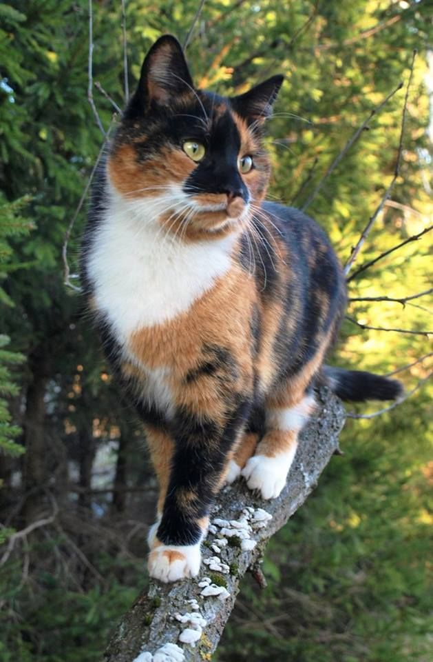 Calico Cat Getting a Better on a Tree Limb.