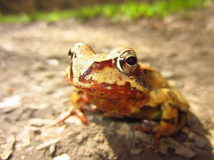 ✳ Check out this free photoMacro Shot of Yellow and Brown Frog on Gray Asphalt Road during Daytime    ▶ https://avopix.com/photo/48002-macro-shot-of-yellow-and-brown-frog-on-gray-asphalt-road-during-daytime    #amphibian #frog #tailed frog #animal #tree frog #avopix #free #photos #public #domain