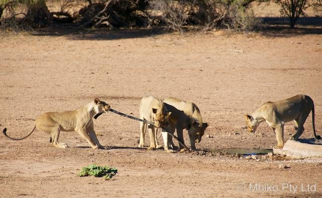 Lions destroy the Urikaruus Wilderness Camp water hose ...AGAIN!
