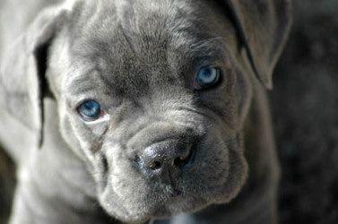 El Mesquital Cane Corso Breeder Texas | Cane Corso | Cane Corso Breeders | Cane Corso Puppies | Italian Mastiff Puppies
