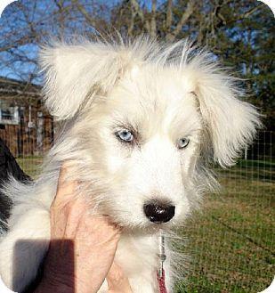 Yardley, PA - Maltese/Standard Schnauzer Mix. Meet Elsa, a puppy for adoption. http://www.adoptapet.com/pet/12324664-yardley-pennsylvania-maltese-mix