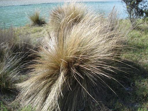 Poa labillardieri - Common Tussock Grass