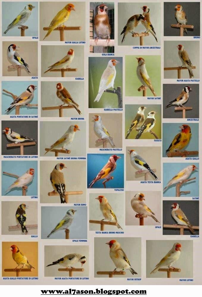 صور لكل أنواع الطفرات عند طائر الحسون طائر الحسون Pet Birds Bird Aviary Canary Birds
