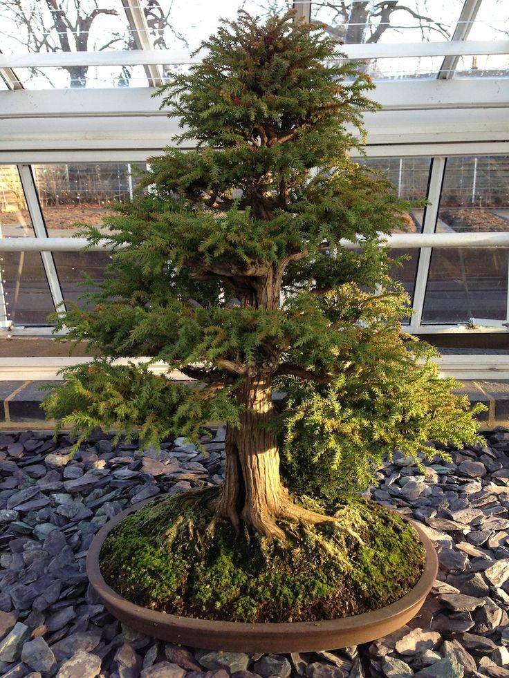 Cryptomeria japonica as bonsai