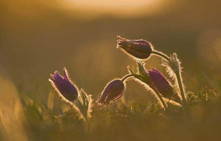 abendsonne Blume frühblüher Glühen küchenschelle küchenschellen kuhschelle Makro