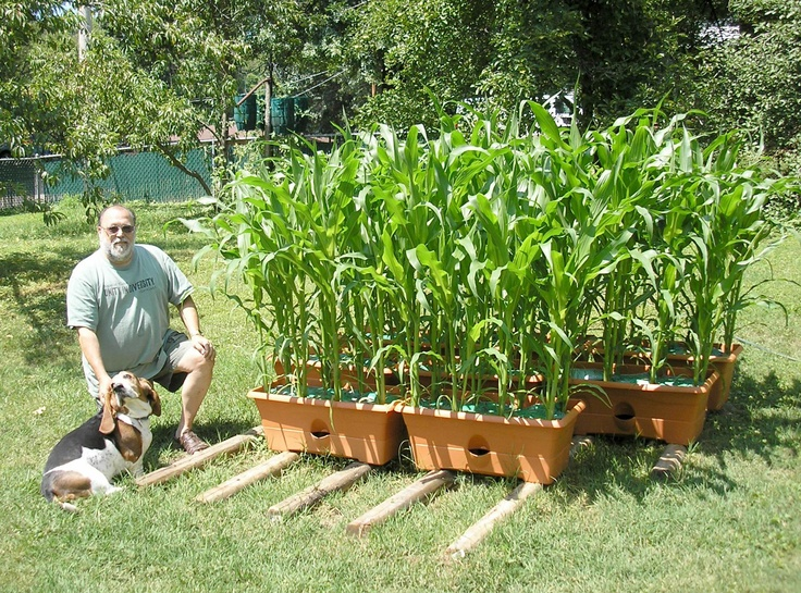 7 best Garden Corn images on Pinterest Garden ideas Veggie