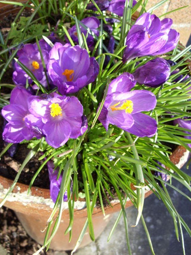 best 20+ krokusse pflanzen ideas on pinterest, Gartengerate ideen