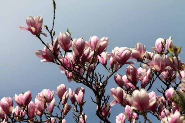 Virágba borult a Dél-Alföld legszebb fája - 2017 | DELUXE