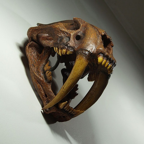 Sabre Tooth Cat Skull Prehistoric Animals Extinct