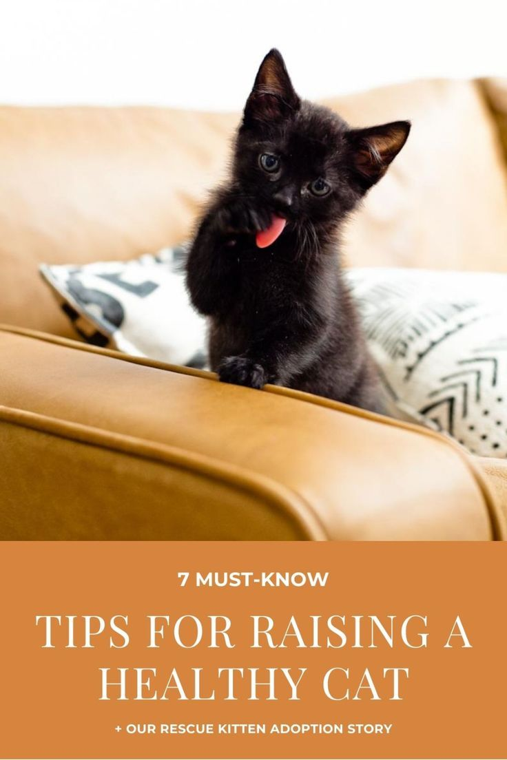 7 Must Know Tips For Raising A Healthy Cat Fresh Mommy Blog In 2020 Kitten Adoption Kitten Rescue Cat Advice