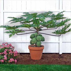 Papaya tree is one of the most unusual fruit trees you can grow indoors. Get care tips for papaya, growing, propagating. Discover how to grow this dwarf citrus tree as a house plant.
