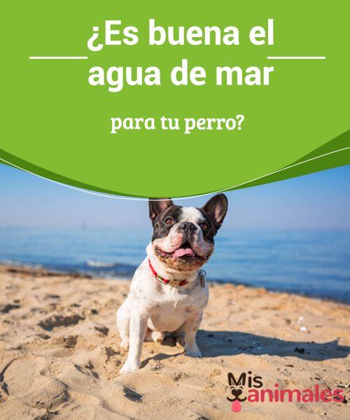 ¿Es buena el #agua de mar para tu perro?  Los efectos que el agua de #mar puedan tener sobre los #perros son un tema muy recurrido. Se trata de una duda frecuente entre los amantes de estos #animales de compañía, verano tras verano. Los casos de emergencias #veterinarias por intoxicación tras un día de playa, son relativamente frecuentes.