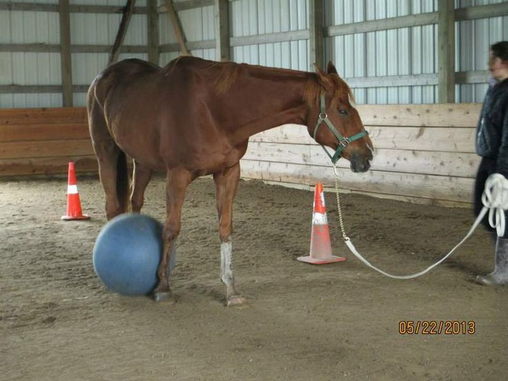 Horse For Lease | Brown Male Thoroughbred in Loretto MN | 3556714905 | Horses on Oodle Marketplace