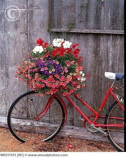 Bicycle with red flowers in the basket by an old barn