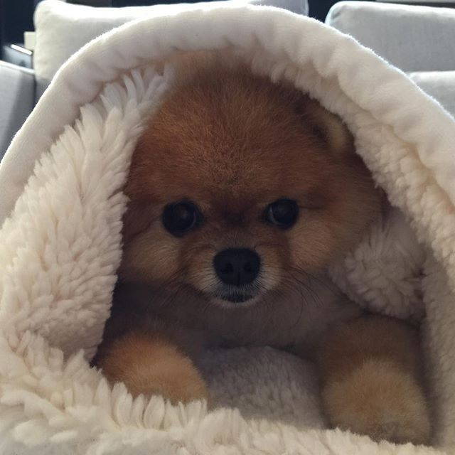 jiff by jiffpom | instagram | Cute baby animals、Cute Dogs ...
