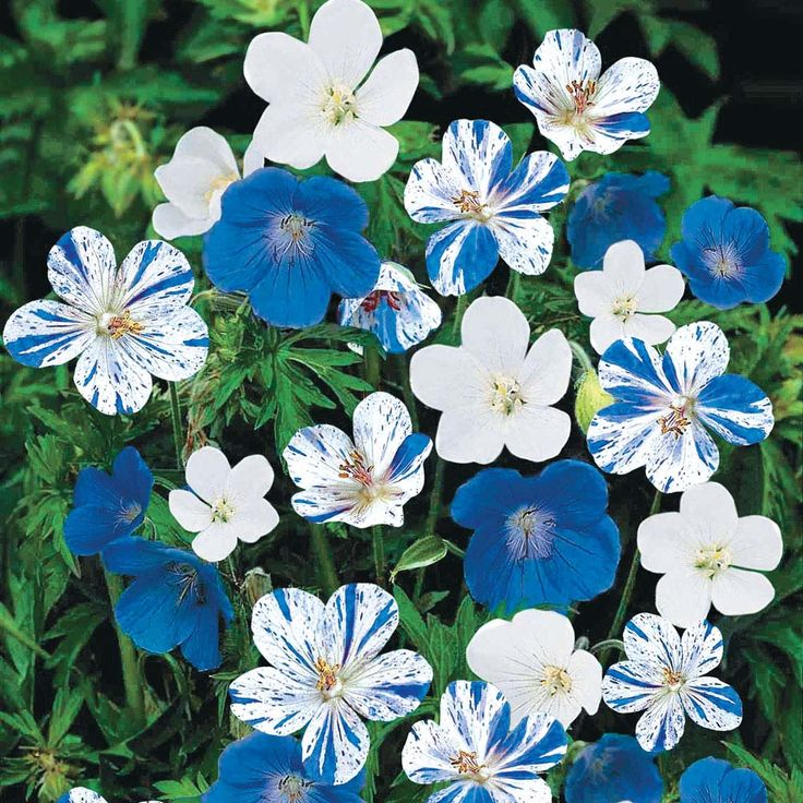 Cranesbill geranium 39 hardy blues collection 39 a collection of three different varieties one - Different types pelargoniums ...