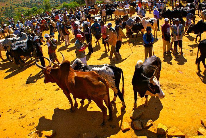 Tsiroanomandidy, le plus grand marché au zébu de Madagascar