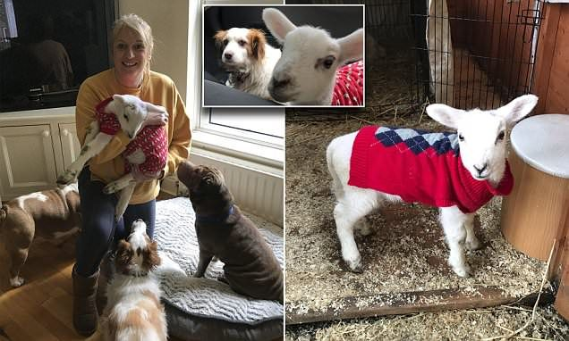 Lamb saved from slaughterhouse now thinks she is a DOG