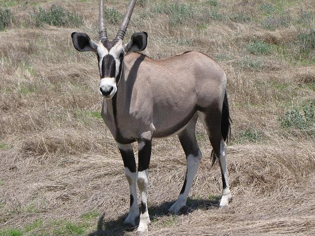 Gemsbock Namibia