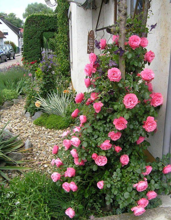 Elegant Rose f r zierlichen Rosenbogen gesucht Seite Rund um die Rose Mein sch ner