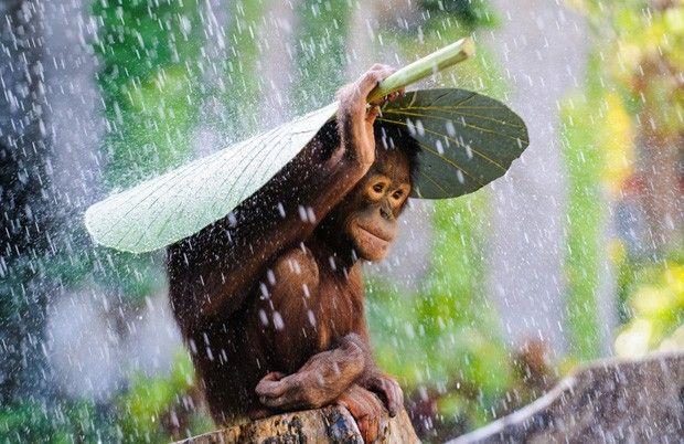 Imagem de um orangotango se protegendo da chuva enviada por Andrew Suryono concorre na categoria Vida Selvagem (Foto: Andrew Suryono/2015 Sony World Photography Awards)