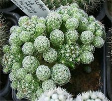 Thimble Cactus Mammillaria Small Cactus Gracilis Fragilis (2'' or 4'')