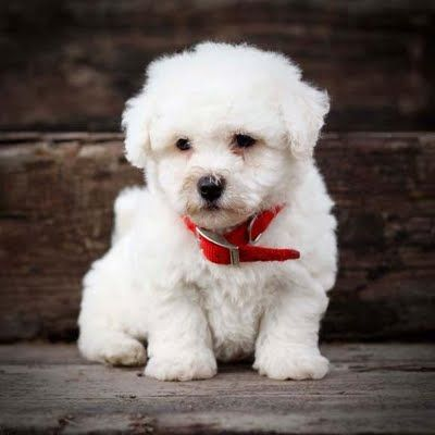 Best Dog Clippers For Poodle Mix