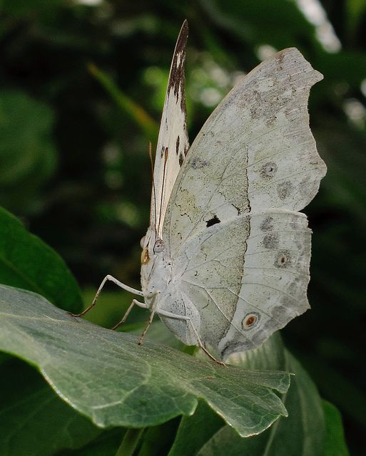 Forest Mother-of-pearl - Protogoniomorpha parhassus