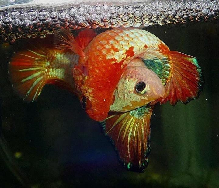 82 best dragon scale bettas images on pinterest aquarium for Betta fish mating