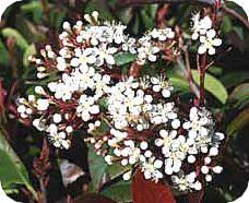 Glansmispel - Photinia fraseri siert de voorjaarstuin met rode bladeren.