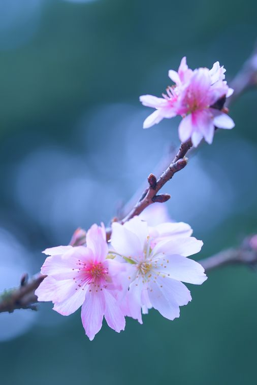 "Flor de cerezo 'Jugatsu Sakura ""en Shinjuku Jardín Imperial, Tokio"