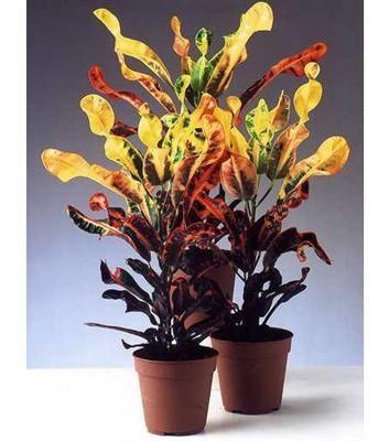 Кодиеум (Codiaeum) — вечнозеленый кустарник с необыкновенно красивыми кожистыми листьями разной формы (ланцетной, овальной, спиральной) и различной расцветки. На растении одновременно могут находиться листья, окрашенные в желтый, оранжевый, зеленый, красный и темно-пурпурный цвет.