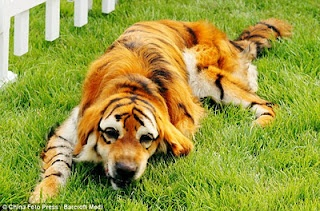 This is all the rage in China.         People are totally getting into dying their pets to make them look like other animals.      Woofing Hilarious.       Check out Tiger dog: