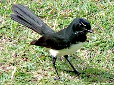 Willy Wagtail has been very vocal all morning. I think he is courting.