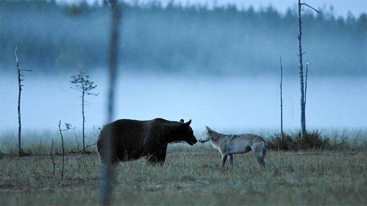 Huikea luontokuva - karhu ja susi kohtasivat sumuisella suolla, Lasse Niskala