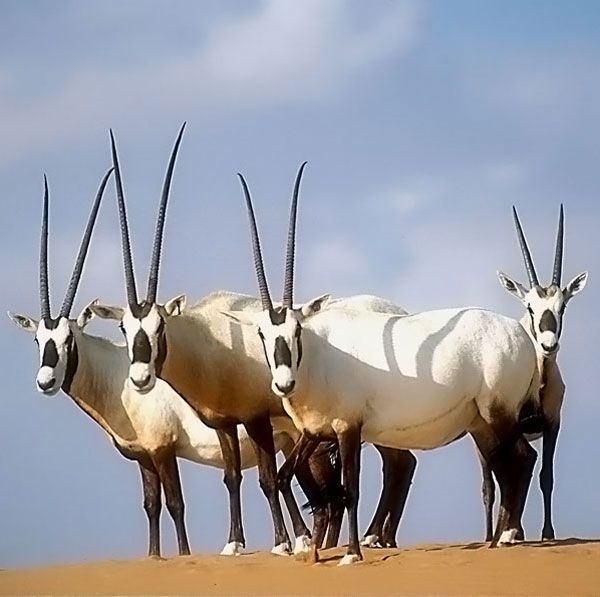 Arabian oryx (Oryx leucoryx) - once classified as extinct in the wild, now has a wild population of approx. 1000 thanks to reintroduction efforts.