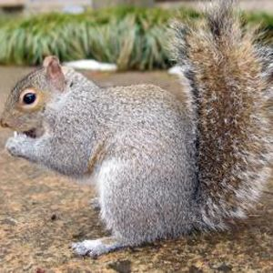 17 Best ideas about Squirrel Repellant on Pinterest Gardening