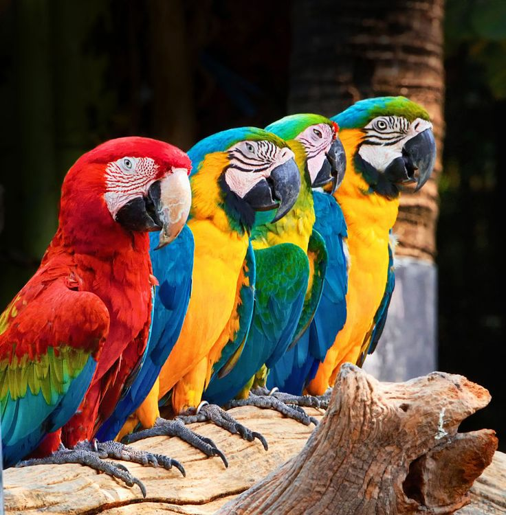 Parrot - Macaw - Several Yellow and Scarlet Macaws sitting in a row.